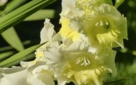 Green Gladiolus 12 Cool Hd Wallpaper