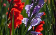 Green Gladiolus 2 Background