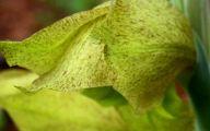 Green Gladiolus 24 Desktop Background