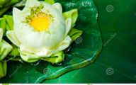 Green Lotus Flowers  23 Hd Wallpaper