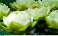 Green Lotus Flowers  33 High Resolution Wallpaper