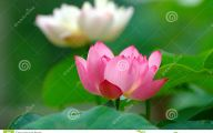 Green Lotus Flowers  9 High Resolution Wallpaper