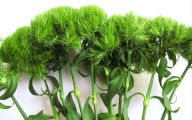 Green Trick Dianthus 16 Background Wallpaper