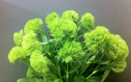 Green Trick Dianthus 26 Cool Wallpaper