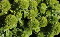 Green Trick Dianthus 4 Cool Hd Wallpaper