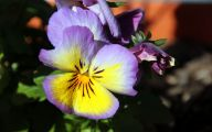 Pansy Flowers 14 Widescreen Wallpaper