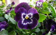 Pansy Flowers 18 Hd Wallpaper