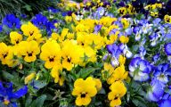 Pansy Flowers 19 High Resolution Wallpaper