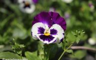 Pansy Flowers 2 Desktop Background