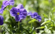 Pansy Flowers 21 Cool Hd Wallpaper