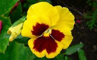 Pansy Flowers 24 Free Wallpaper