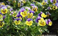 Pansy Flowers 30 Background Wallpaper