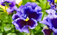Pansy Flowers 31 Cool Wallpaper