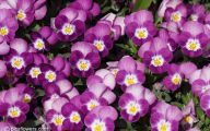 Pansy Flowers 34 Cool Hd Wallpaper