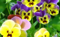 Pansy Flowers 35 Hd Wallpaper