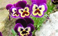 Pansy Flowers 8 Background Wallpaper