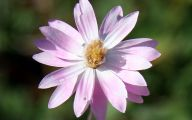 Pink Everlasting Flowers  23 Cool Hd Wallpaper