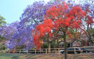 Pink Jacaranda Flowers  14 Free Wallpaper