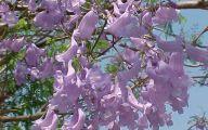 Pink Jacaranda Flowers  31 Desktop Wallpaper