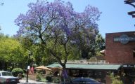Pink Jacaranda Flowers  7 Widescreen Wallpaper