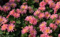 Pink Jasmine Flowers  2 Desktop Background