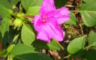 Pink Jasmine Flowers  22 Wide Wallpaper