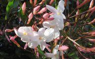 Pink Jasmine Flowers  41 Free Hd Wallpaper