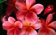 Pink Jasmine Flowers  9 Free Hd Wallpaper