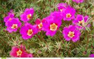 Purple Bellflowers 34 High Resolution Wallpaper