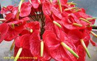 Red Anthurium 16 Free Wallpaper