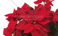 Red Flowers For Christmas  11 Desktop Background