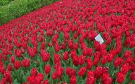 Red Flowers For Garden  1 High Resolution Wallpaper