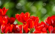 Red Flowers For Garden  8 High Resolution Wallpaper