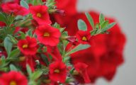 Red Flowers For Hanging Baskets  4 High Resolution Wallpaper
