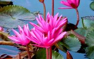Red Pygmy Water Lily 2 Hd Wallpaper