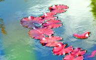 Red Pygmy Water Lily 21 Wide Wallpaper