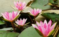 Red Pygmy Water Lily 24 Free Hd Wallpaper