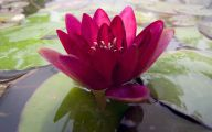 Red Pygmy Water Lily 29 Free Hd Wallpaper