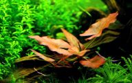 Red Pygmy Water Lily 34 Wide Wallpaper