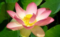 Red Pygmy Water Lily 36 High Resolution Wallpaper