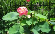 Red Pygmy Water Lily 38 Free Hd Wallpaper