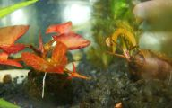 Red Pygmy Water Lily 6 Cool Wallpaper