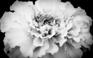 White Carnation 14 Free Wallpaper