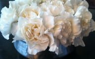 White Carnation 17 Background