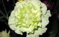 White Carnation 21 Cool Hd Wallpaper