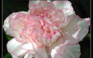 White Carnation 22 Widescreen Wallpaper
