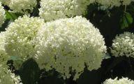 White Flowers Hydrangea  1 Free Hd Wallpaper