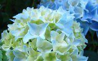 White Flowers Hydrangea  10 Desktop Wallpaper