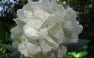 White Flowers Hydrangea  12 Hd Wallpaper