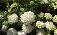 White Flowers Hydrangea  14 High Resolution Wallpaper